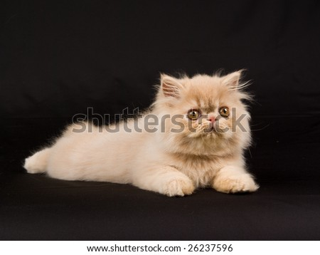 Cute and pretty Persian kitten on black background