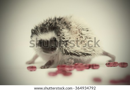 cute and very cheerful african pygmy hedgehog baby color algerian black pinto half masked