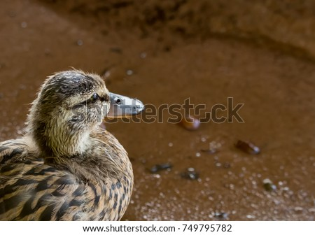 Cute animal photo of a baby duckling looking out over the water. Closeup portrait of a young Blue Winged Teal duck patiently watching the lake, Anas discors. Concepts of thinking, watching and waiting