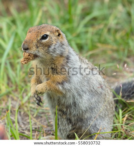 Cute arctic ground squirrel holding a peace of bread in the mouth