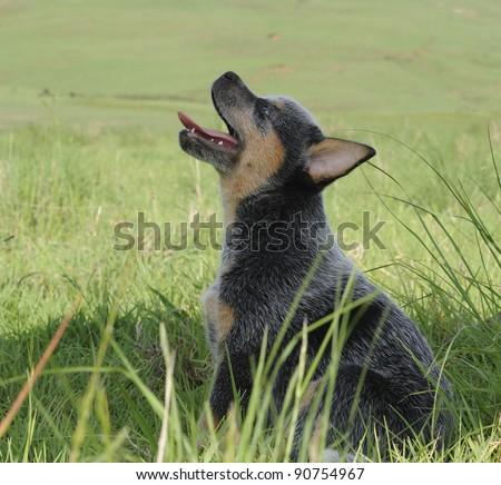 cute australian cattle dog puppy - stock photo