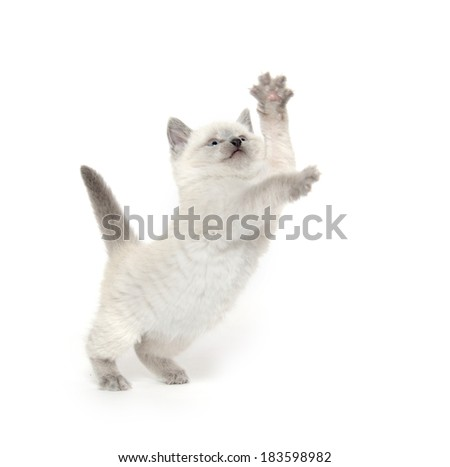 Cute baby American shorthair kitten playing on white background