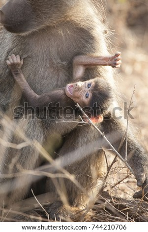 Cute baby baboon with his mother