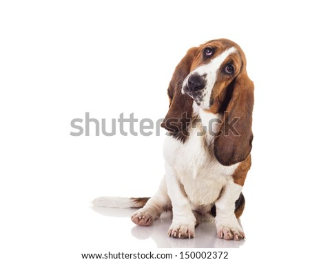 Cute baby Basset dog sitting and looking up, isolated on white