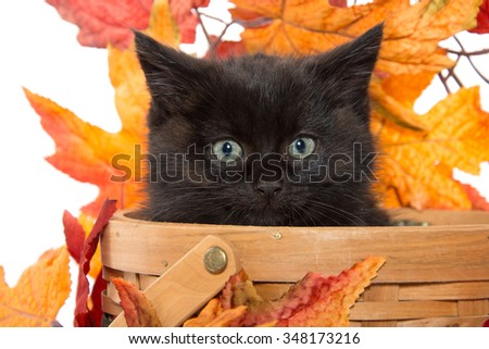 Cute baby black kitten inside of basket with fall leaves on white background - stock photo