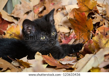 Cute baby black kitten playing in fall leaves - stock photo