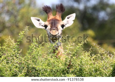 Cute baby giraffe - stock photo