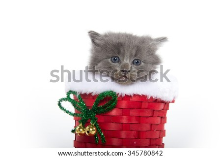 Cute baby gray kitten inside of red Christmas boot isolated on white background