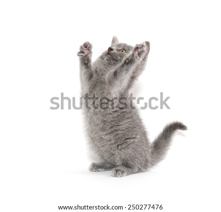 Cute baby gray kitten playing and isolated on white background - stock photo