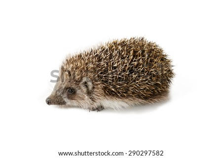 Cute baby hedgehog isolated on white background.  - stock photo