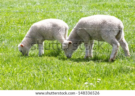 Cute baby lambs in a field - stock photo