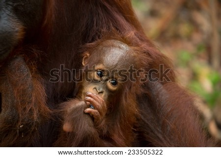 Cute baby Orangutan in south Borneo Indonesia. - stock photo