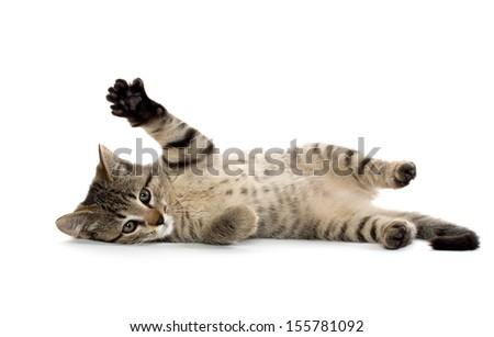 Cute baby tabby American short hair kitten on white background - stock photo