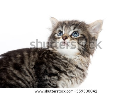 Cute baby tabby domestic shorthair kitten looking up and isolated on white background