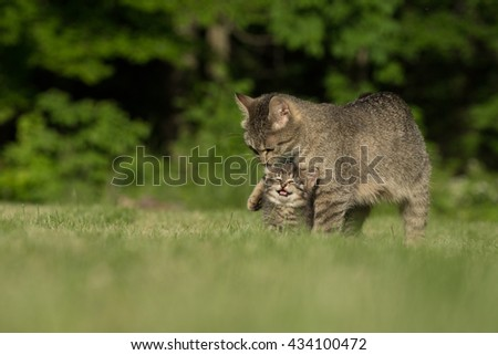 Cute baby tabby kitten and mother cat standing in green grass