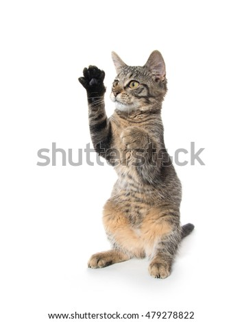 Cute baby tabby kitten on its hind legs isolated on white background