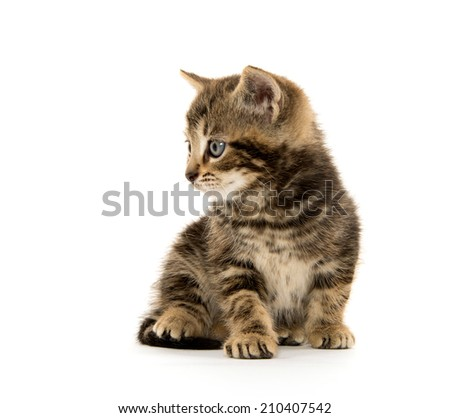 Cute baby tabby kitten on white background