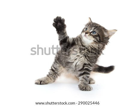 Cute baby tabby kitten playing isolated on white background - stock photo