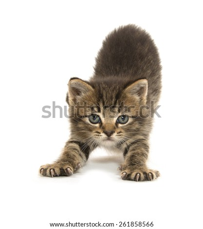 Cute baby tabby kitten stretching with its paws out on white background - stock photo