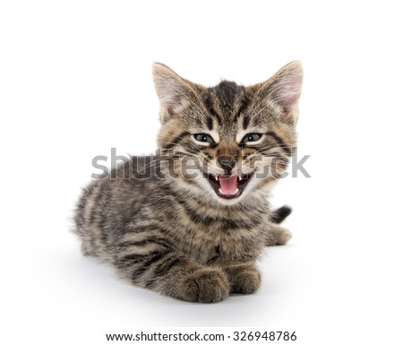 Cute baby tabby kitten with its mouth open crying isolated on white background - stock photo