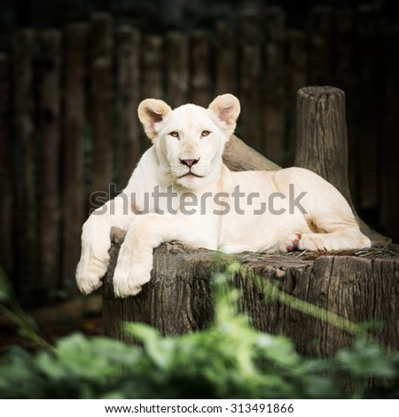 Cute baby white lion in action of relaxation - stock photo