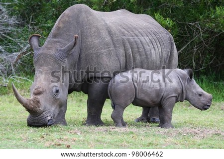 Cute baby White Rhino standing next to it's mother which has a large horn - stock photo