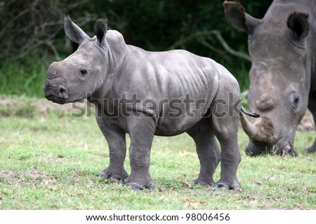 Cute baby white rhino with large feet - stock photo