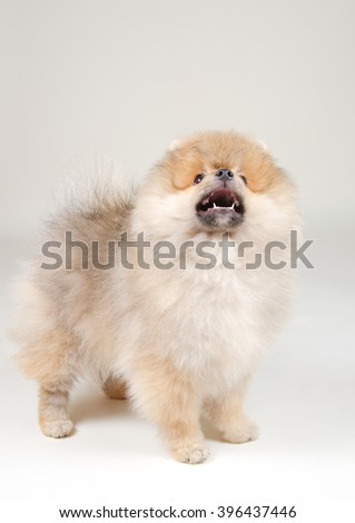 Cute barking Pomeranian puppy looking up (on a gray background)