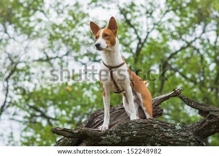 Cute Basenji dog - troop leader on the tree branch looking into the distance  - stock photo