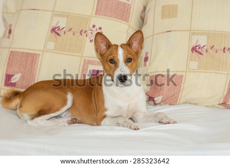 Cute basenji having rest on the sofa while master is out of home - stock photo