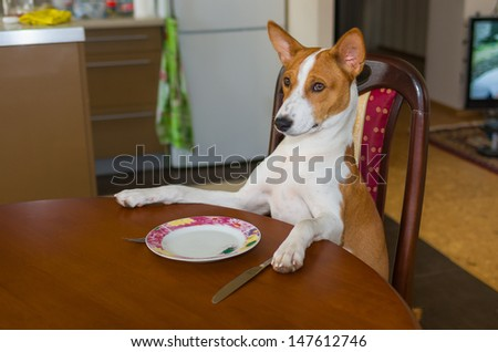 Cute Basenji is waiting for the service by master-waiter. - stock photo
