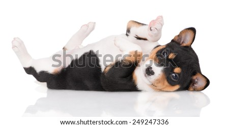 cute basenji puppy lying on his back - stock photo