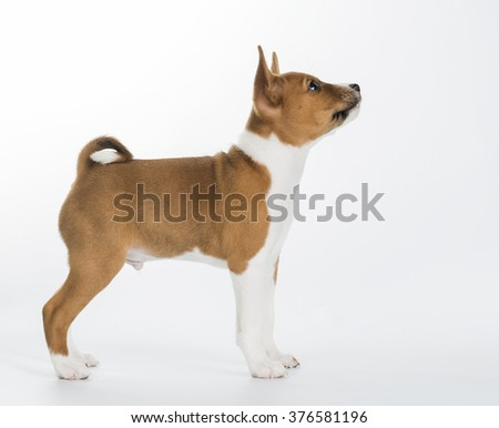 cute Basenji puppy sitting isolated on white background. looking down