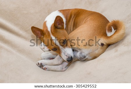 Cute basenji resting in its favorite pose thinking it is in hole somewhere in Africa - stock photo
