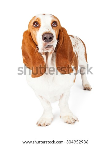 Cute Basset Hound dog with a funny expression on his face and lips curled up