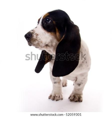 cute basset hound puppy - stock photo