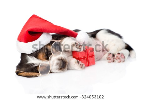 cute basset hound puppy with red gift box and santa hat. isolated on white background - stock photo