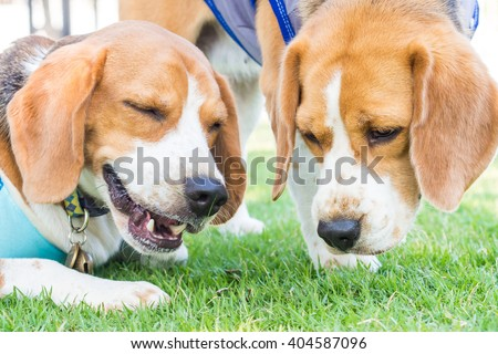 Cute beagle dog in the garden