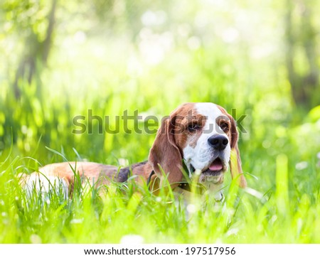 cute beagle on a grass in forest - stock photo