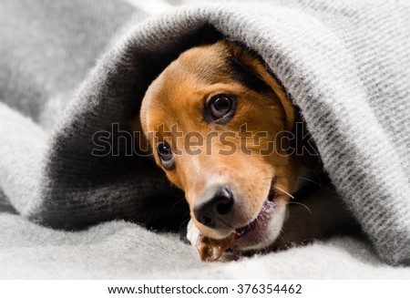Cute Beagle puppy - stock photo