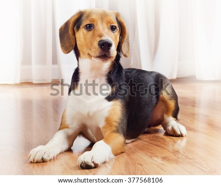 Cute Beagle Puppy at home. Selective focus