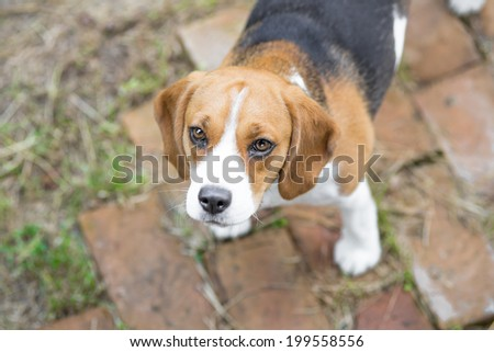 Cute beagle puppy dog looking up - stock photo