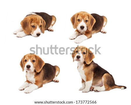 Cute beagle puppy in diverse poses - stock photo