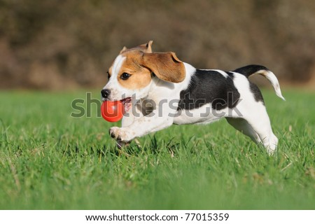 cute Beagle puppy 3 months running happy over the meadow with a red ball - stock photo