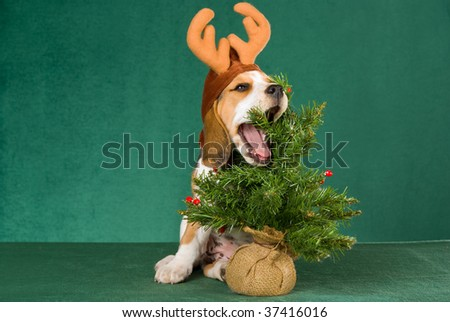 Cute Beagle puppy with christmas hat, on green background