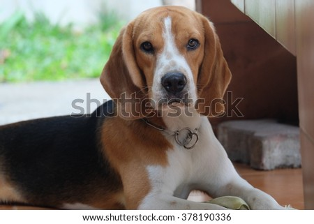 cute beagle sitting on the floor