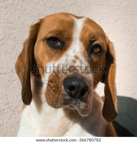 Cute beagle with sad eyes, adoption rescue concept