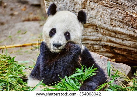 Cute bear panda actively chew a green bamboo sprout. - stock photo