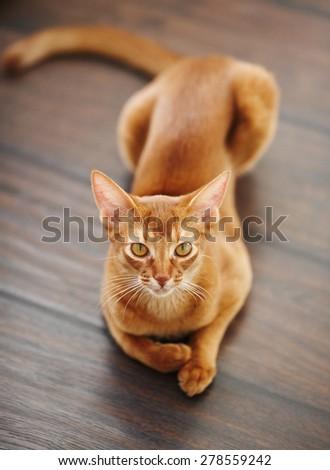 Cute beautiful red cat - stock photo