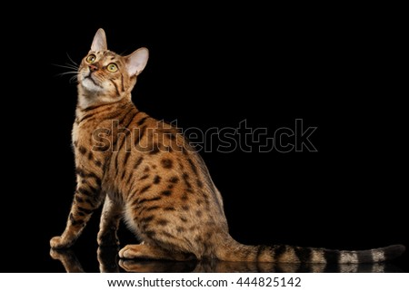 Cute Bengal female Cat with beautiful spots Sitting and Looking up on Isolated Black Background, Back view, Adorable breed - stock photo